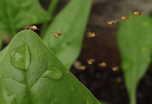 baby spiders on spinach