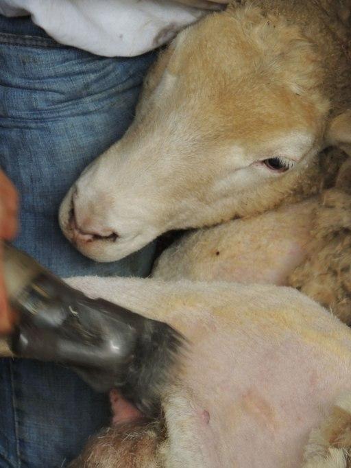 sheep shearing 2