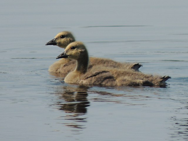 Young Canada Geese