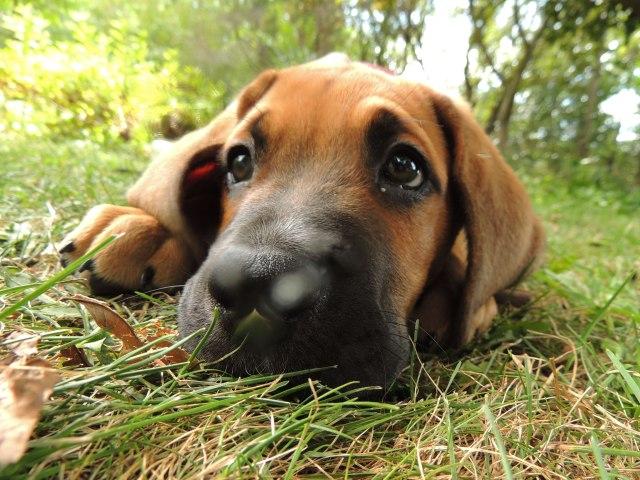 Digby puppy