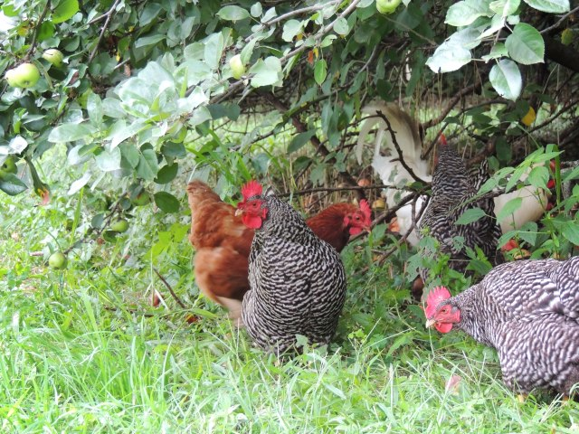 chickens under apple tree