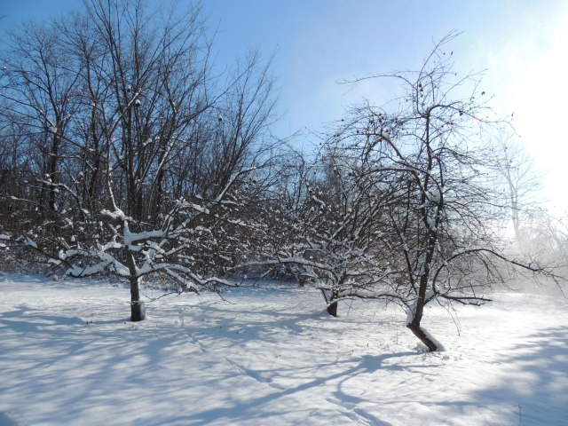 Apple trees under fresh snow