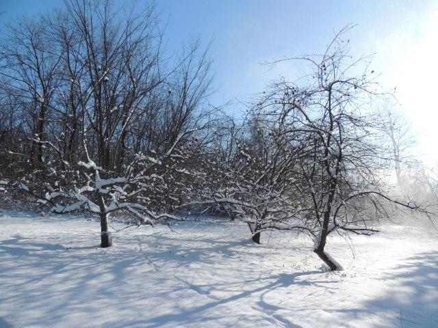 Apple trees under fresh snow