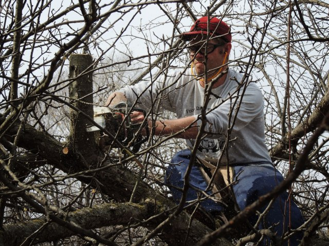 John pruning apple tree
