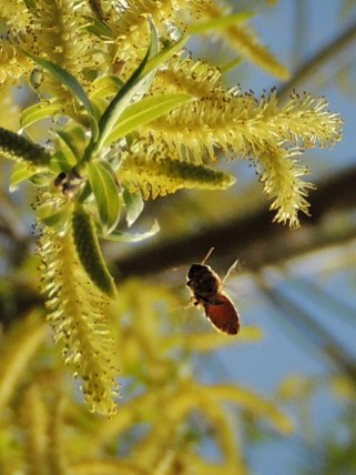 honey bee and weeping willow