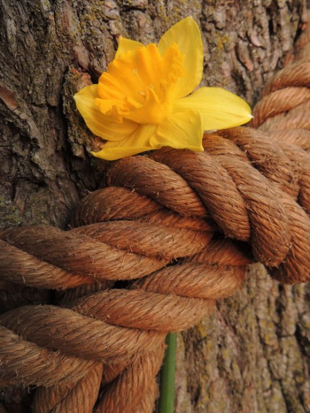 daffodil in rope