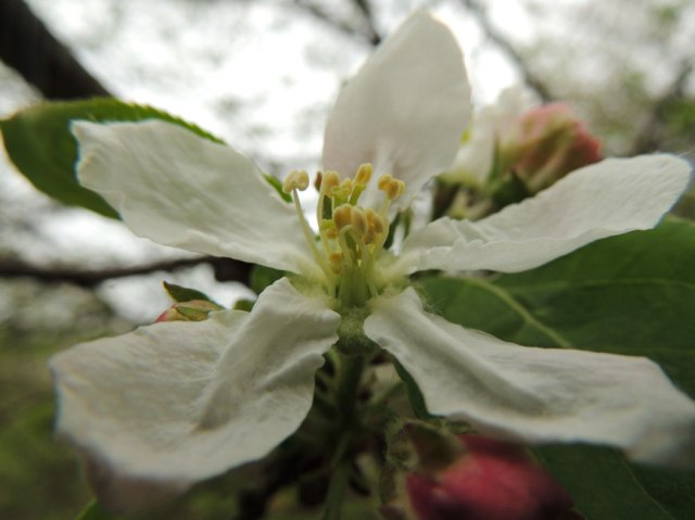 """willow"" apple blossom"