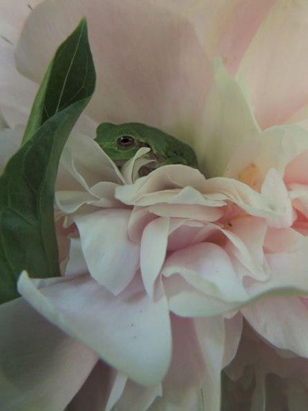 tree frog in peony blossom