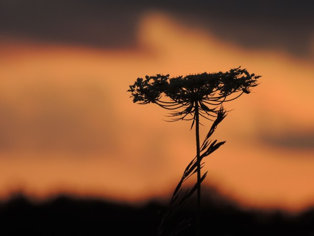 Queen Anne's lace at sunset