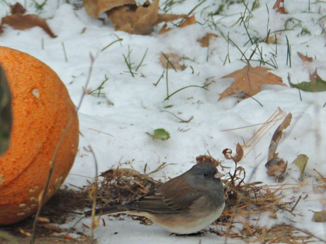 Pumpkin and Junco