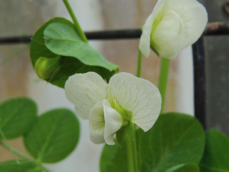 pea blossom