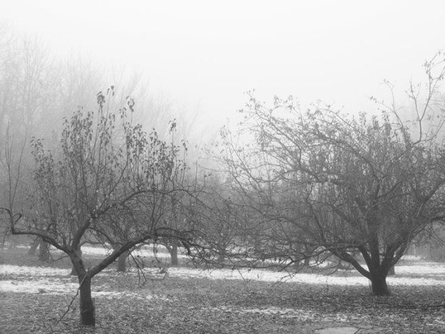 black and white foggy orchard