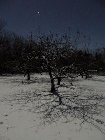 Apple tree in the moonlight