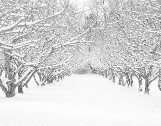 apple orchard with fresh snow