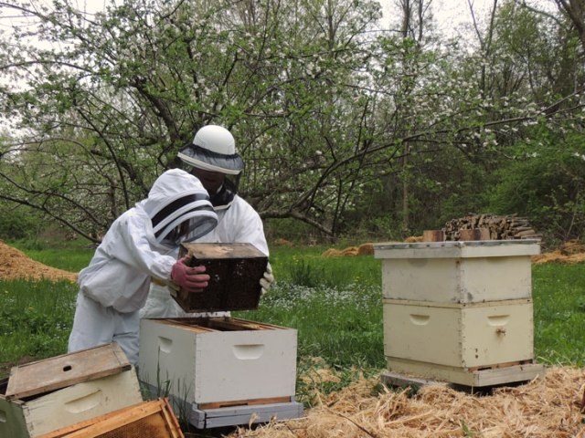 Clara dumping the bees into the hive.
