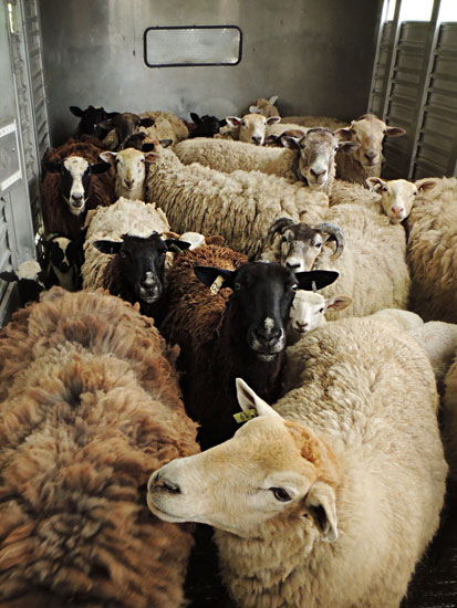 trailer full of sheep