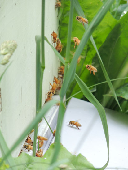 bees entering hive