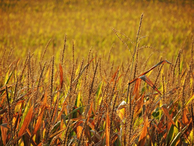 late summer cornfield in the late afternoon