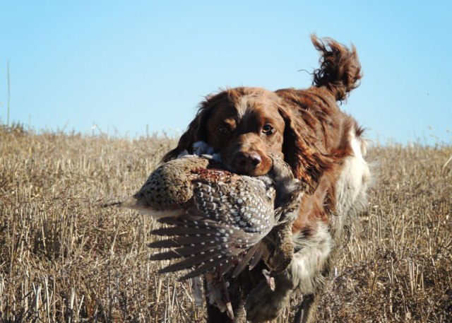 Turk retrieving sharp-tail.
