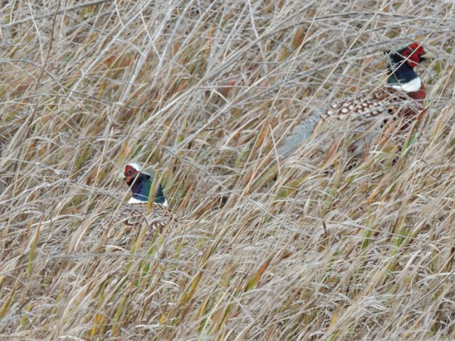 pheasants in wheat stubble