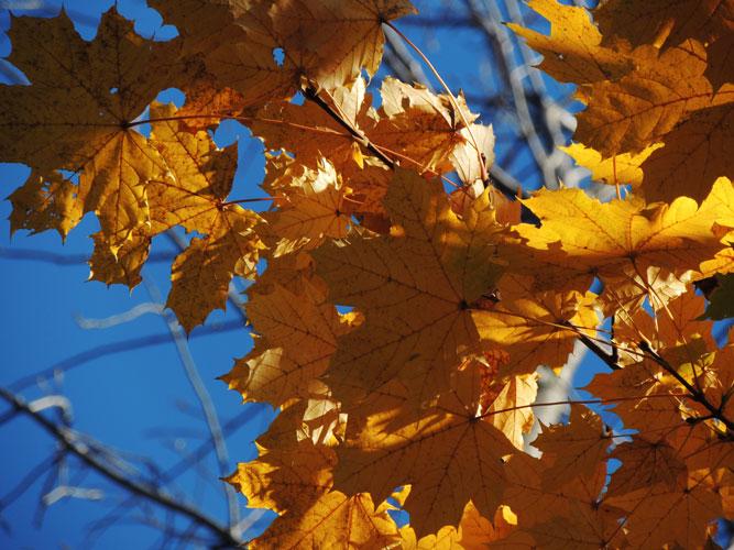 yello maple leaves