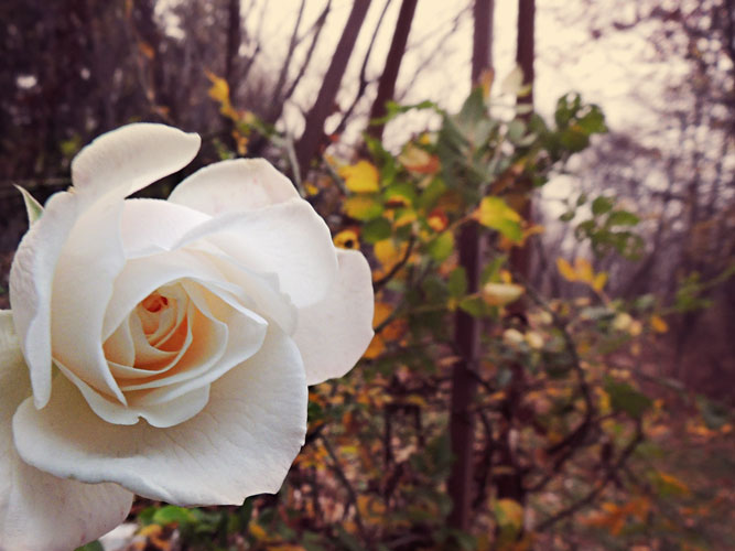 white rose in november