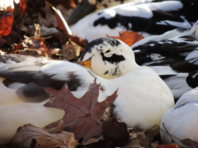 duck sleeping in leaf pile