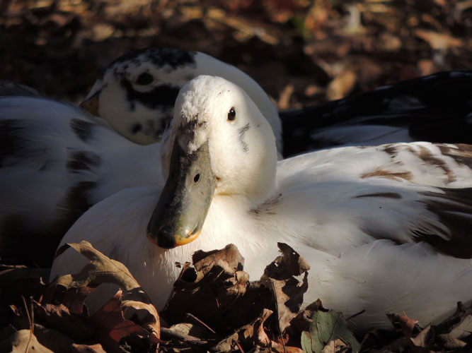 duck in leaf pile
