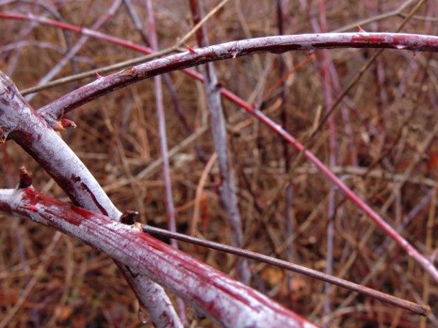 wild black raspberry canes