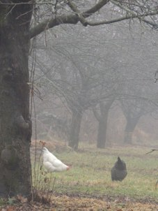 chickens in the fog