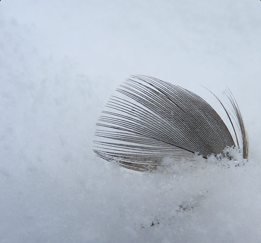 duck feather in the snow
