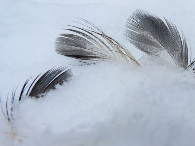 duck feathers in the snow
