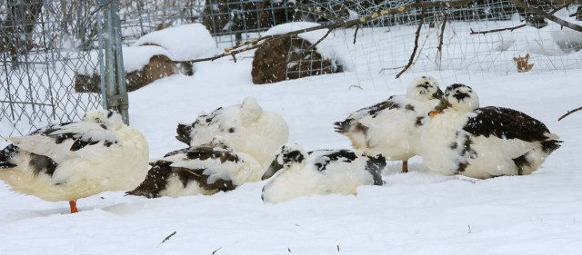 Ancona ducks in the snow