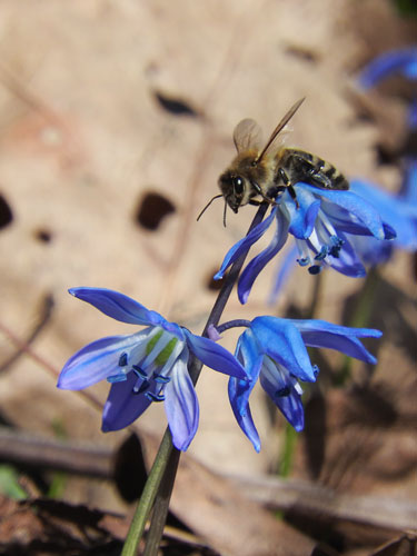 honey bee on scilla