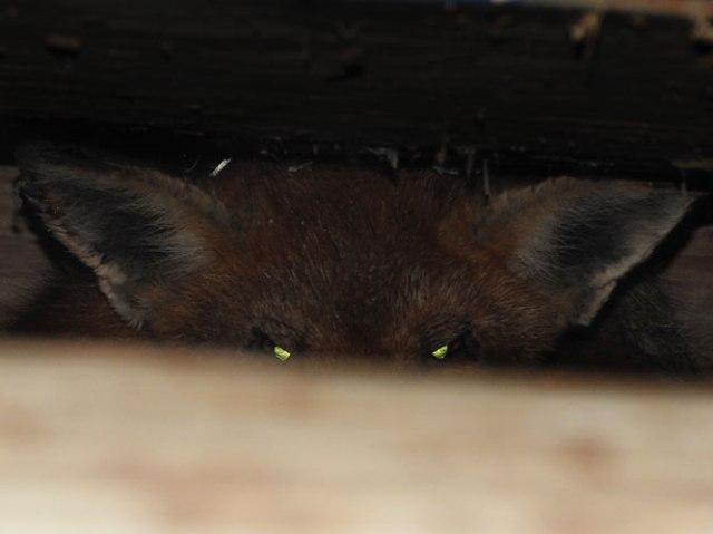 fox under the chicken coop