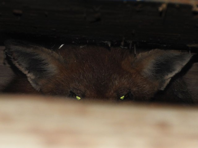 fox under the chicken coop