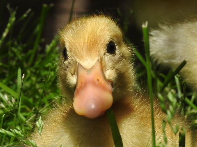 Ancona duckling