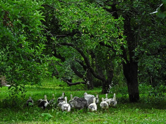 The ducks and geese can organize their own orchard limbo. They'll probably do fine so long as they don't learn how to use the lawnmower...