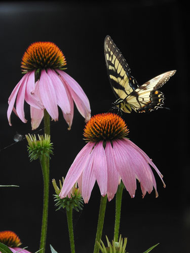 Purple Coneflowers with Eastern Tiger Swallowtail Butterfly