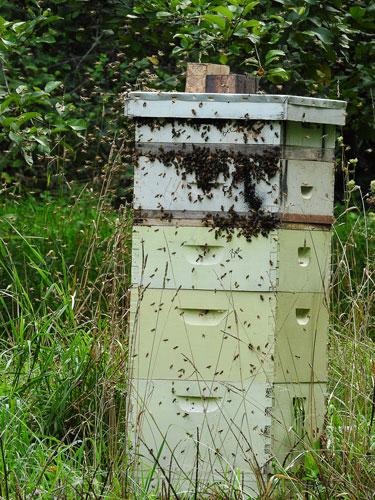 robbing bees
