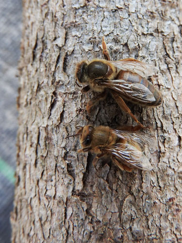 Queen bee on top with one of her daughters below to show the size difference.