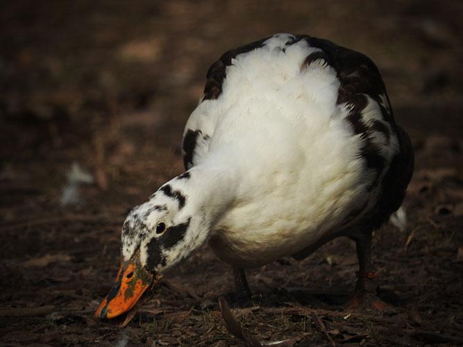 Ancona duck