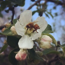 """Apple trees need """"stuff"""" done to them in the spring. So much stuff."""